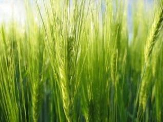 zelený mladý ječmen